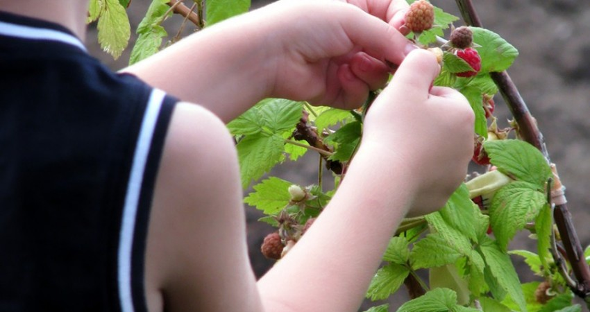 Picking-Raspberries1